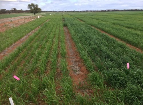 Sandy soil trial - Best Practice + Lime v 9t Chicken Litter