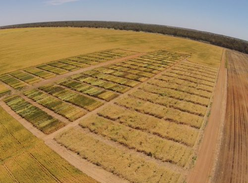 Aerial photo of irrigated Hillston trials 2016