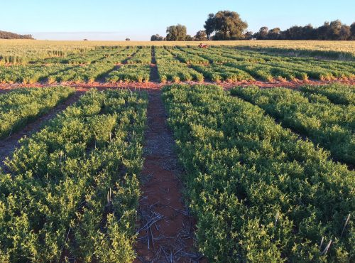 Lentil nodulation trial 2017