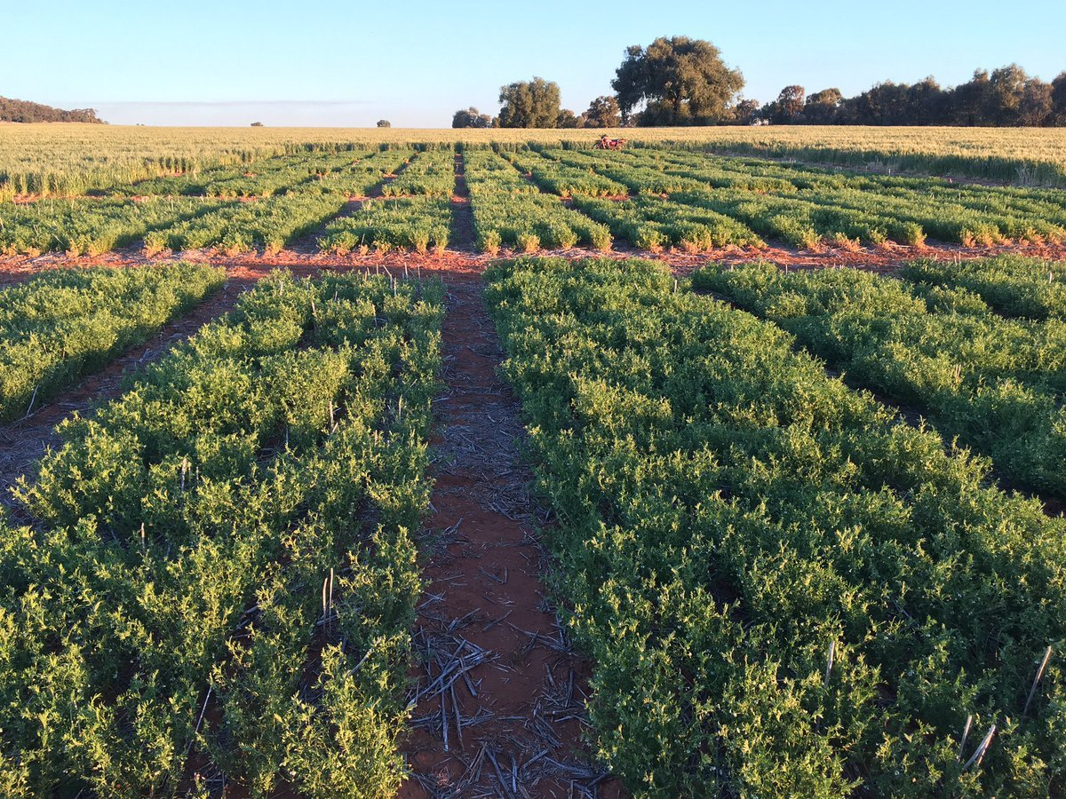 Increasing the effectiveness of nitrogen fixation in pulses through improved rhizobial strains in the GRDC Northern region »