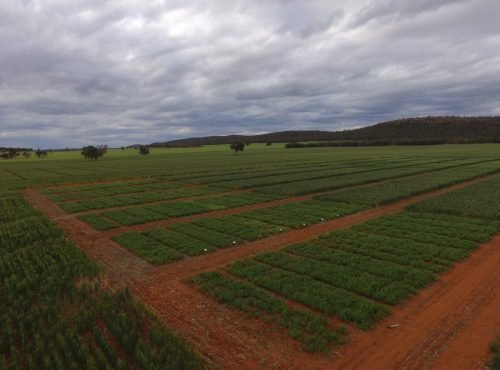 Aerial photo of dryland trials at Beelbangera 2017