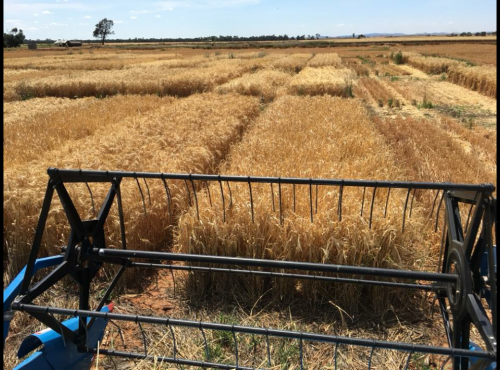 Harvesting irrigated HBS trial 2017