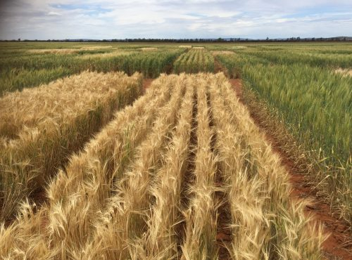 HBS dryland variety trial 2017