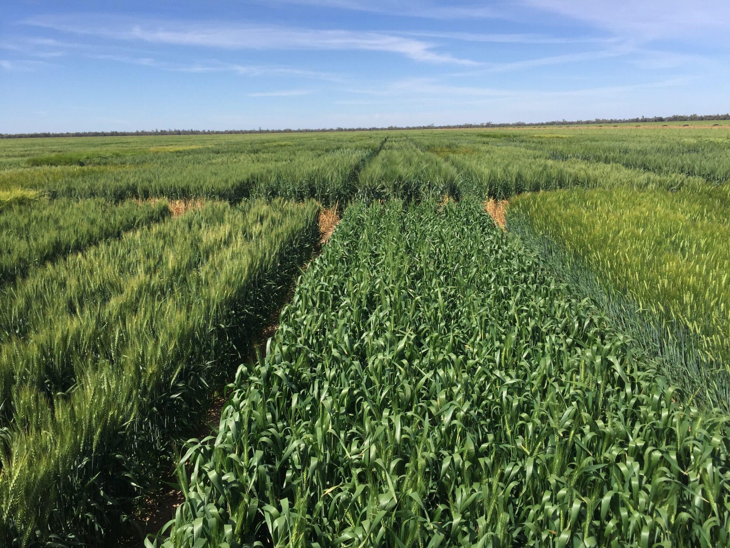 Hart Bros Seeds Wheat & Barley Variety Trials -