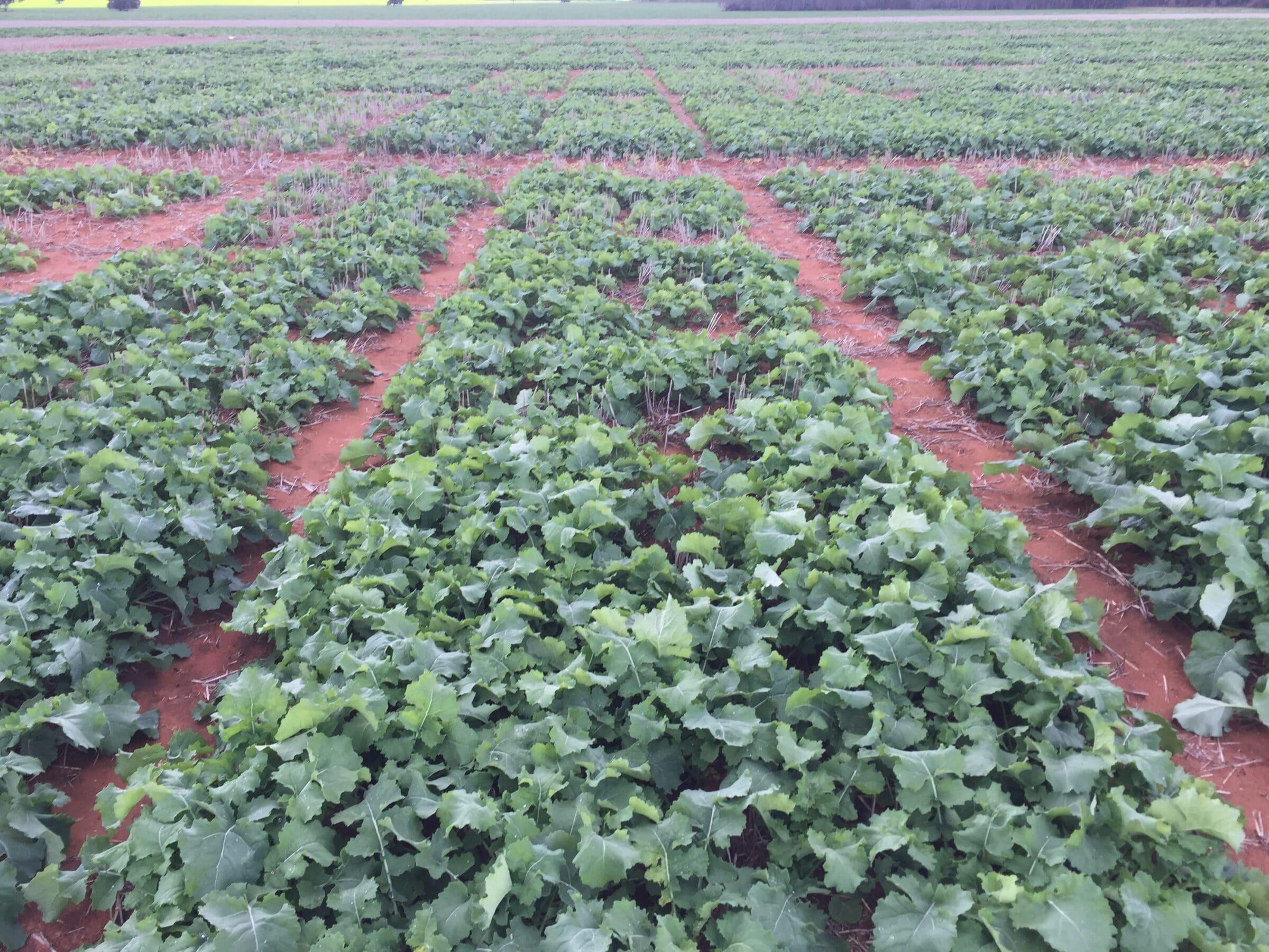 Advanta Seeds - Canola Breeders Trial -