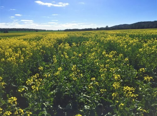 Canola Variety Trials 2019
