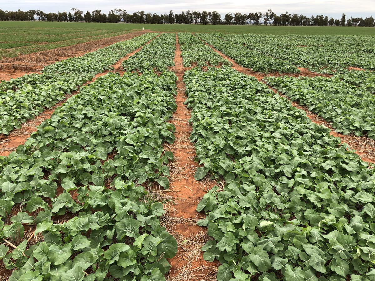 Canola OP seed manipulation trials: Improving production of grower retained open pollinated canola seed using agronomic management to increase establishment in MRZ and LRZ of the GRDC Northern Region »