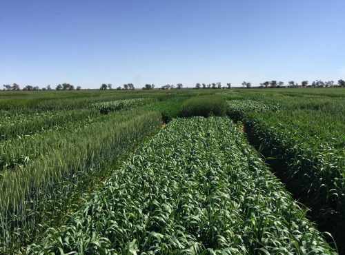 Hillston variety trial 2019